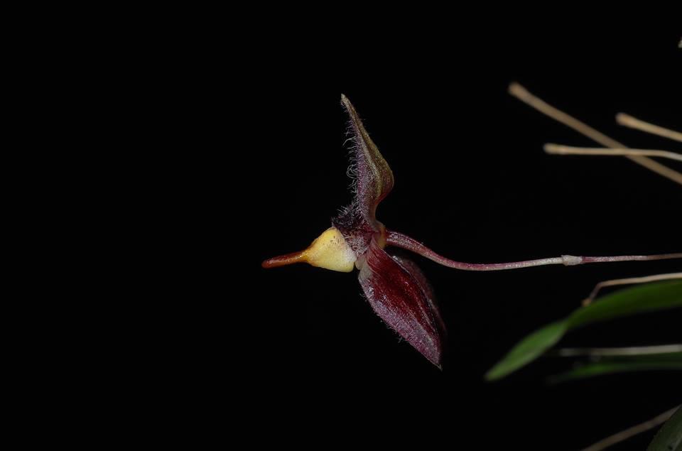 Bulbophyllum anascaputum