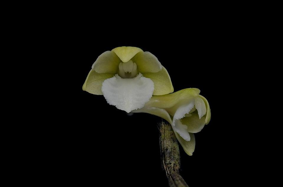 Dendrobium derekcabactulanii