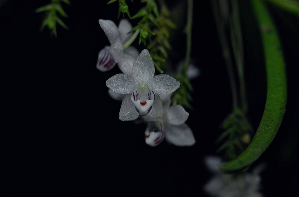 Thrixspermum fernandeziae